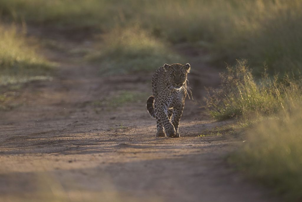 solitair levende luipaard in Afika, Maasai Mara